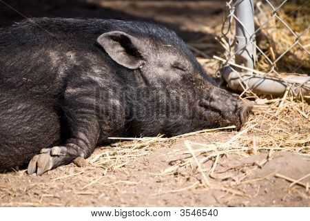 Miniature Pig Snoozing In The Sun