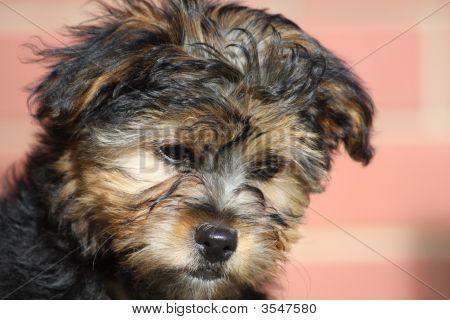 Tootsie Puppy