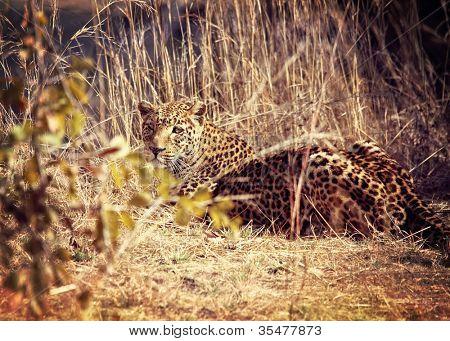 leopard portrait, luangwa national park zambia