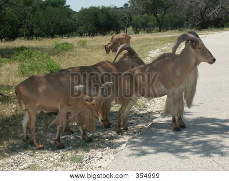 Aoudad Or Barbary Sheep2