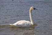 image of trumpeter swan  - Swimming Trumpeter Swan in a Minnesota Lake - JPG