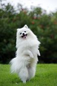 pic of hairy tongue  - White pomeranian dog standing on hind legs - JPG