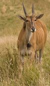 picture of eland  - Portrait of Common Eland  - JPG