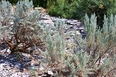 picture of sagebrush  - Sagebrush plant which is native to the Great Basin Desert - JPG
