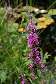 Lythrum Salicaria  (Purple-Loosestrife)