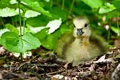 stock photo of baby goose  - Baby goose sitting in the leaf litter with weeds - JPG