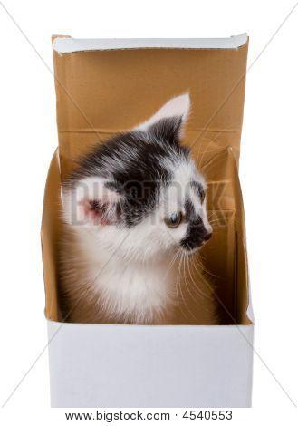 Baby Kitten In Box