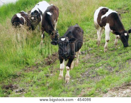 Five Calfs