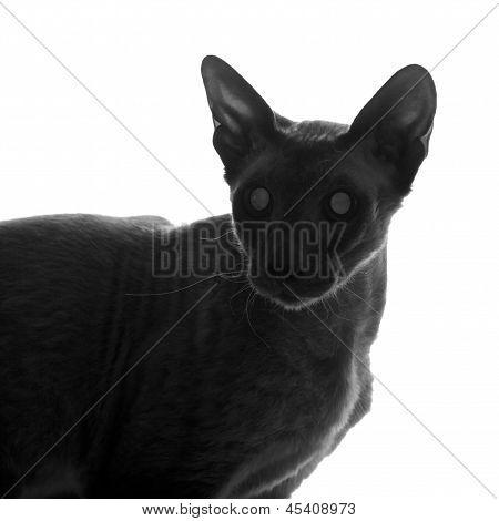 Peterbald Cat Silhouette