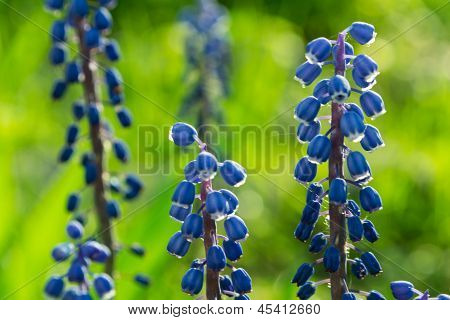 Blue flowers Muscari or murine hyacinth buds