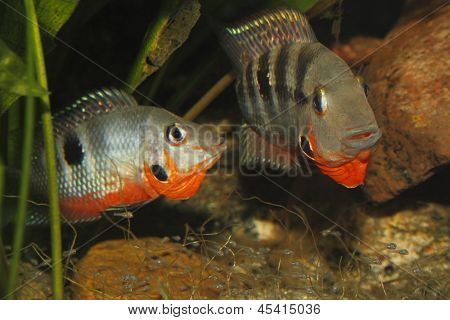 Mexican Fire Mouth (Thorichthys meeki)