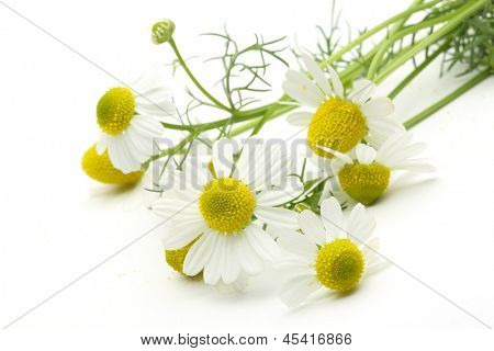 Closeup of chamomiles on white background