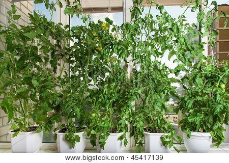 Tomato Bushes In Pots