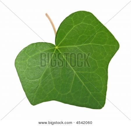 Green Ivy Leaf