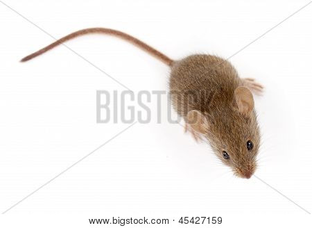 House Mouse Looking Up (mus Musculus)