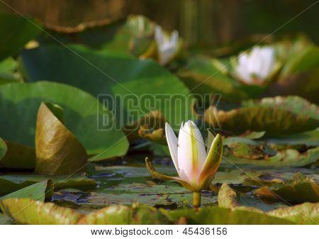 Nymphaea alba na lagoa