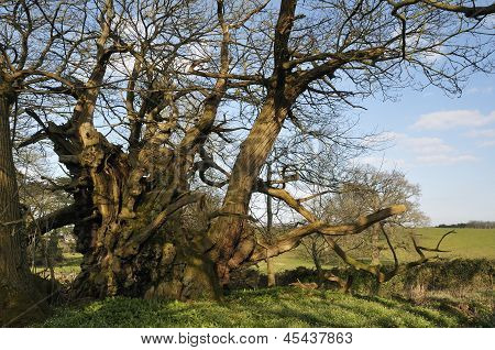 Tortworth Chestnut
