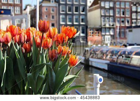 Amsterdam In Tulips