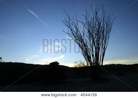 Ocotillo Silhouette