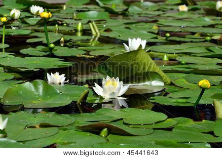 White And Yellow Water Lilies