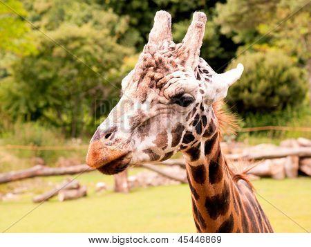 Portrait of a giraffe on the farm