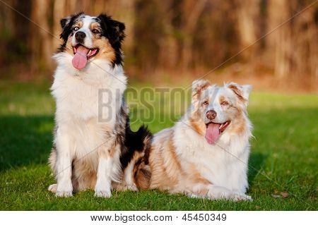two australian shepherd dogs outdoors