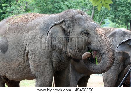 Asian Elephant Eating Grass Happily.