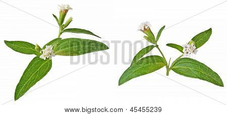 Flower Rebaudiana