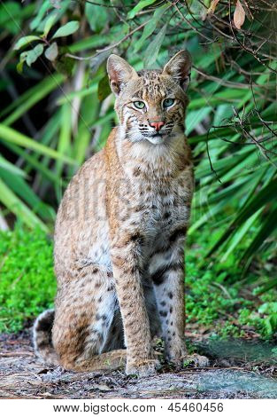 Lince selvagem (lynx Rufus)
