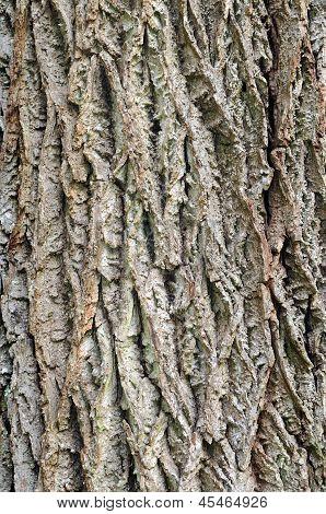 The bark of black walnut (Juglans nigra)