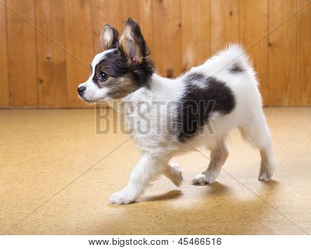 Papillon Puppy Walking