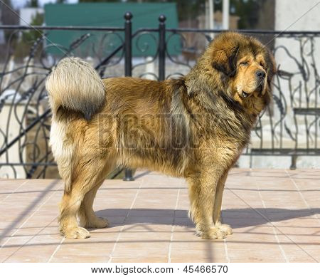 Portrait Of A Tibetan Mastiff