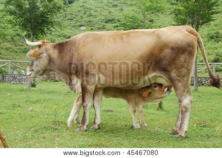 Calf Feeding From A Cow