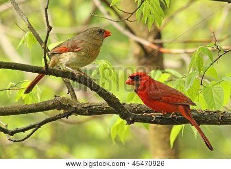 Two Cardinals In A Tree