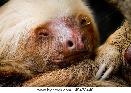 Young sleeping sloth, high detail
