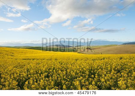 Fields Off Yellow Canola Flowers Overlooking A Valley In South Africa