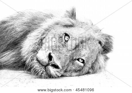 Lion Resting On Sand High Key