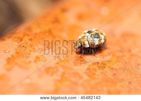 Escarabajo de alfombra variada (Anthrenus verbasci)