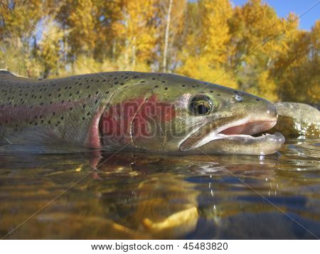 Boise River steelhead trout