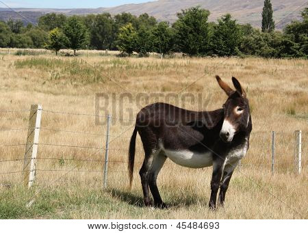 A male donkey looking back.