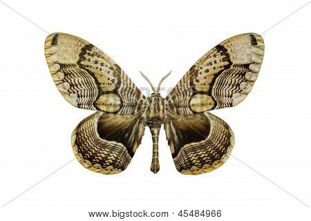 Tiger Faced Brahm Moth