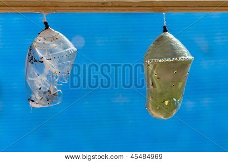 Plain Tiger Butterfly Pupa