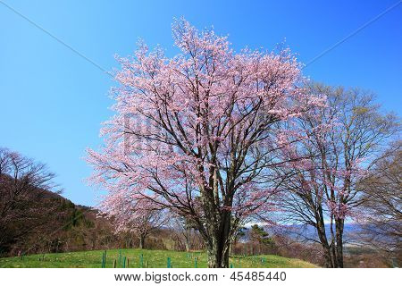 Prunus Sargentii And Blue Sky