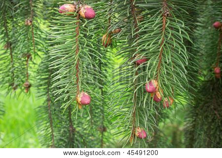 Spring Picea Omorika