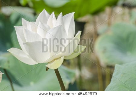 White Lotus in Basin