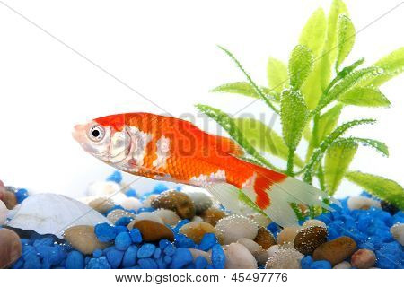 goldfish in fishtank