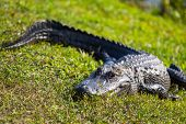 stock photo of alligators  - Alligator in Florida - JPG
