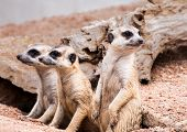 image of meerkats  - Meerkats looking for something with cautious and quiet - JPG