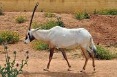 pic of antelope  - Arabian oryx and blooming flowers - JPG