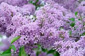 image of stamen  - Branch of lilac flowers with the leaves - JPG